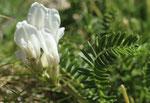 Drüsiger oder Stinkender Spitzkiel / Oxytropis fetida, mit 14-25 Fiederblätter (Oxytropis campestris nur 10-15)/ Zermatt 24.7.2019