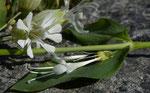 Acker-Waldnelke / Silene noctiflora !  tyisch nur 3 Griffel (die häufige Weisse Waldnelke hat 5) / Von Ackersand Richtung Visperterminen 3.6.2019