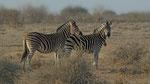 Burchell's Zebra / Steppenzebra