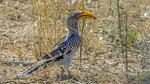 Südlicher Gelbschnabeltoko / Southern Yellow - billed Hornbill