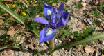 Mittags-Schwertlilie / Moraea sisyrinchium,  im ganzen Mittelmeerraum vorkommend