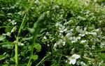 Hallers Schaumkresse / Cardaminopsis halleri / Krauchtal 22.5.2019