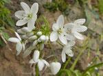 Berg-Milchstern / Ornithogalum montanum,  blüht ab März