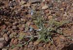 065-Salvia verbenaca  Eisenkraut-Salbei