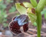 Fleischmanns Ragwurz / Ophrys fleischmannii, Kreta-Endemit,  silbrige Behaarung der unteren Lippenhälfte