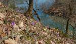 Hundszahnlilie / Erythronium déns-canis , an einem Steilhang oberhalb einer Rhoneschlaufe / bei   Aire-la-Ville  GE      22.3.2019