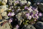 Kretische Ricotia / Ricotia cretica      Kretischer Endemit , oft flächendeckend gesehen