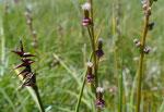 Davalls Segge / Carex davalliana und Sumpf-Dreizack / Triglochin palustris