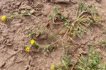 096-Anacyclus monanthos  subsp. cyrtolepidioides