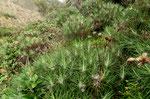 Scheinfichtenkratzdistel -  Ptilostemon chamaepeuce,  Griechenland,Türkei
