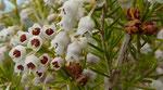 Baumheide / Erica arborea