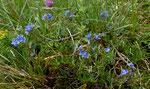 Scheerers Niederliegender Ehrenpreis / Veronica prostrata ssp. scheereri
