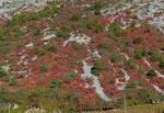 213 : Perückensträucher in der Felsensteppe Leuk 19.10.2020