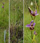 Kleinblütige oder Hohe Hummel-Ragwurz / Ophrys elatior / Les Baillets 10.7.2020