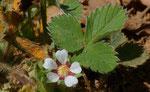 Kleinblütiges Fingerkraut / Potentilla micrantha,  blüht bereits ab Januar