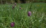 Perlhuhn-Schachblume / Fritillaria meleagris, das wohlbekannte Bijoux von Les Brenets