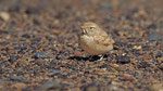 Sandlerche - Bar - tailed Lark
