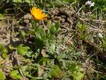 Acker-Ringelblume / Calendula arvensis  mit  Rötlichem Hirtentäschel / Capsella rubella und Frühlings-Hungerblümchen / bei Bardonnex  GE  22.3.2019