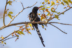 Steppenbaumhopf / Violet Wood Hoopoe