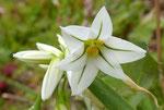Glöckchen-Lauch / Allium triquetrum, nickende Blüten mit grünem Mittelnerv, blüht ab Dezember