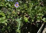 043-Solanum linnaeanum  Sodomsapfel