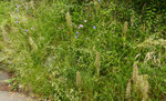 37 und 38 : Bocksriemenzunge / Himantoglossum hircinum / Twann 24.5.2020