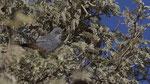 Rufous-vented Warbler / Meisengrasmücke