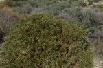 Dorniger Ginster / Genista acanthoclada      Griechenland, Türkei