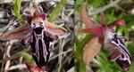 Grigorianische Ragwurz / O.spruneri ssp. grigoriana