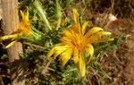 Spanische Golddistel / Scolymus hispanicus