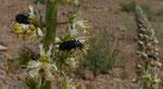 070-Reseda arabica Boiss subsp. maroccana.