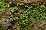 Bubikopf / Soleirolia soleirolii