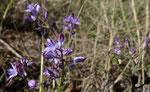 Herbst-Blaustern / Scilla autumnalis, zierlicher Herbstblüher ab September