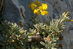 Lutzia cretica, mit unserm Walliser Blasenschötchen verwandt