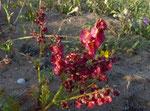 047-Rumex bipinnatus