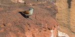 Kapammer / Cape Bunting