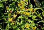 Schweizer Alant / Inula helvetica