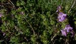 Kopfiger Thymian / Thymbra capitata,  blüht eigentlich erst ab Mai,  im ganzen Mittelmeerraum vorkommend