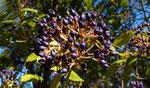 Immergrüner Schneeball / Viburnum tinus, bis 7 m hoch, typisch in Macchie