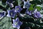 """Herbst-Alraune / Mandragora autumnalis,   für mich eigentlich """"die"""" Entdeckung unter den gewöhnlichen Blumen"""