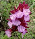 Mittelgrosses Knabenkraut / Orchis papilionacea ssp.expansa