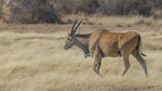 Eland / Elenantilope