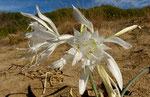 Dünen-Trichternarzisse / Pancratium maritimem, in voller Pracht, Blütengrösse rund 10 cm gross