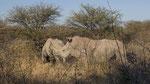 Breitmaulnashorn / White Rhino