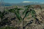 Gewöhnliche Schlangenwurz / Dranunculus vulgaris, hier zum allerersten Mal gesehen, glaubte erst  an Miniaturpalmen, fanden wir immer wieder in grossen Mengen und verschiedensten Orten, von nassen, dunklen Schluchten bis zum wüstenähnlichem Hitzestandort