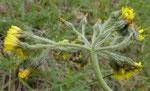 Trugdoldiges Habichtskraut / Hieracium cymosum , Trockenwiesenspezialist