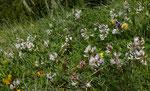 84 und 85 : Südlicher Tragant / Astragalus australis / Tufternalp ob Zermatt 24.6.2020