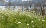Grossblütiges Hirtentäschel / Capsella grandiflora,  südosteuropäisch, CH nur im Linthgebiet zwischen Uznach, Bilten und Amden / Betlis am Walensee 6.4.2019