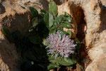 Centaurea aegialophila \ Ägäis-Flockenblume, nur ein einziges winziges Exemplar gesehen, blüht erst ab April