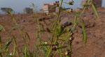 064- Cleome arabica  Arabische Spinnenpflanze